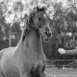 Pferdefotografie Cornelia Paul 7